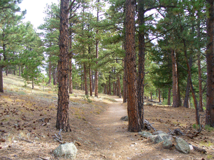 Ponderosa Pines line the The Boy Scout Trail