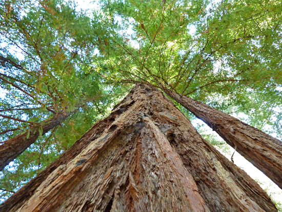 Some Redwoods in Big Basin are over 2,000 years old